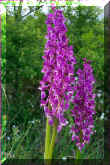 orchis mascula (43238 octets)